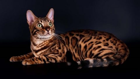 Молодая бенгальская кошка