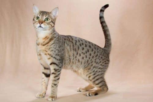 Кот египетской мау