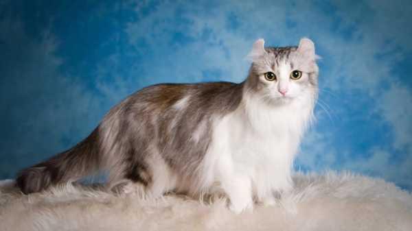 Американский керл кошка
