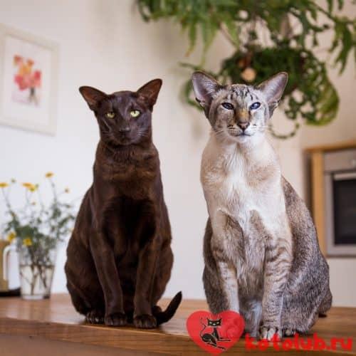 Фото ориентальных кошек