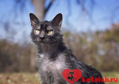 Кошка ликой