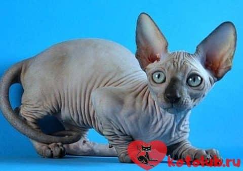 Кошка минскин