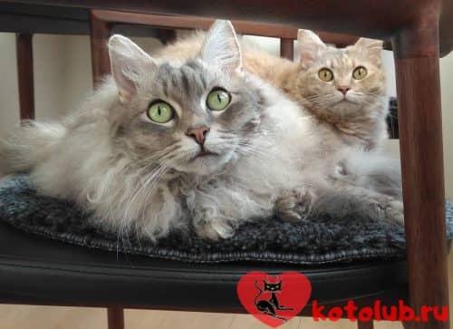 Фото кошки лаперм