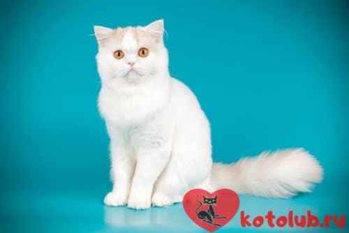 андская прямоухая кошка