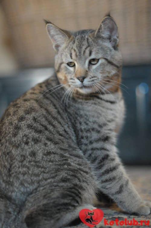 Кошка пиксибоб