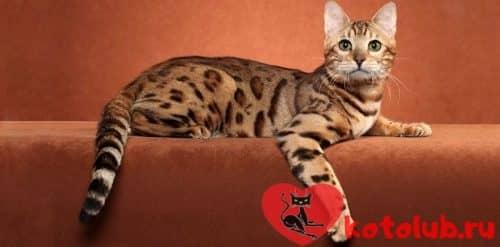 Фото кошки оцикет