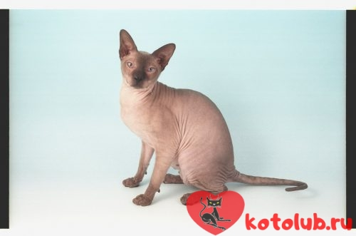 Фото кошки петерболд