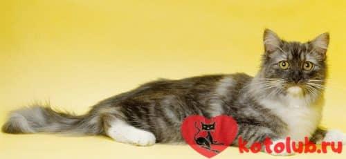Фото кошки рагамаффин