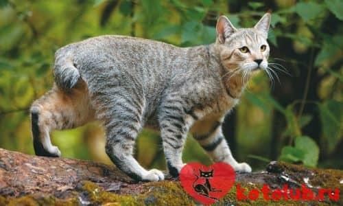 Цена кошки пиксибоб