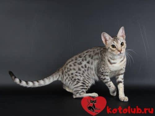Порода кошек оцикет
