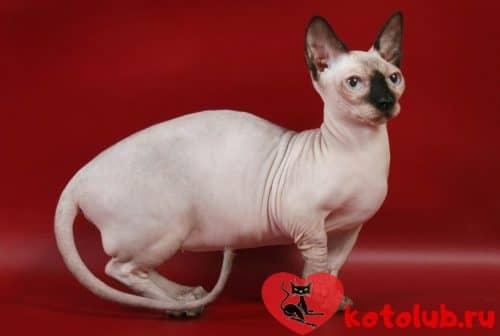 Кот минскин