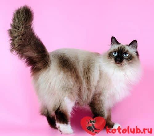 Отзывы о невской маскарадной кошке