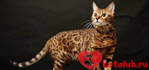 Фото кошки сафари