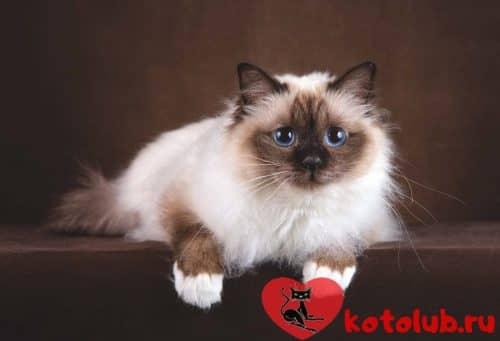 Порода кошек священная бирма