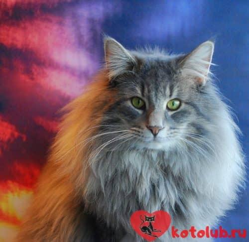 Описание норвежской лесной кошки