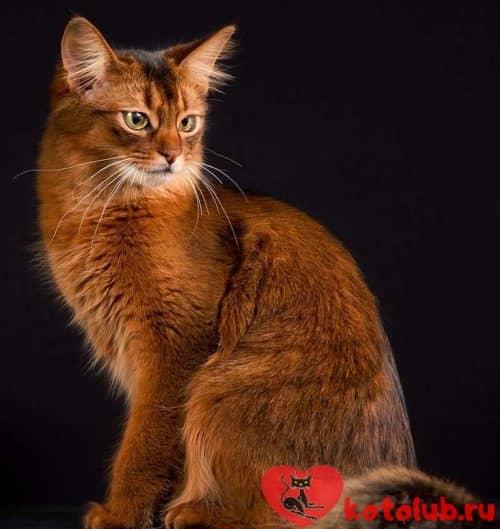 Купить сомалийскую кошку