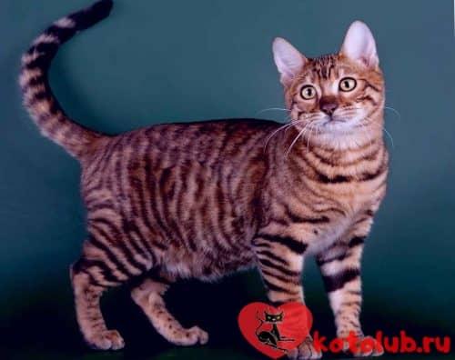 Порода кошек тойгер