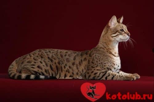 Фото кошки породы сафари