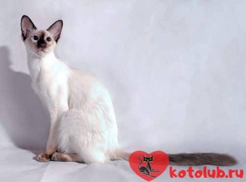 Купить яванскую кошку