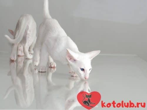 Белая сиамская кошка