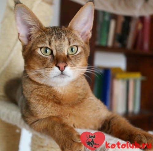Чаузи кошка фото