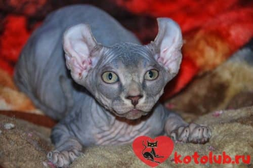 Кошка эльф фото