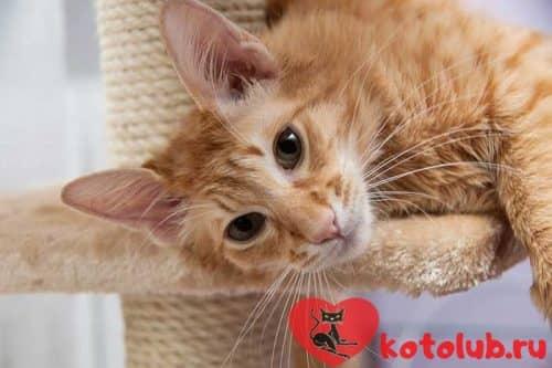 Яванская кошка фото