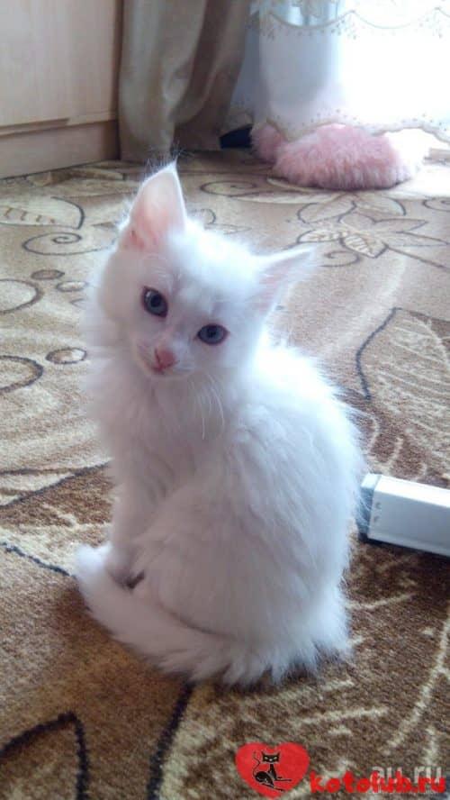 Турецкая ангора котята
