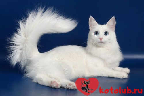 Турецкая ангора кошка фото
