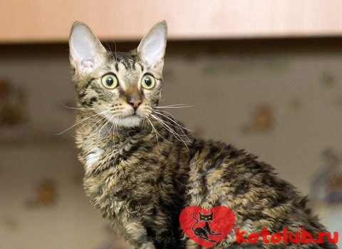 Уральский кот