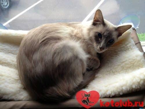 Яванская порода кошек фото